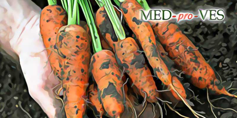 Грязная морковь