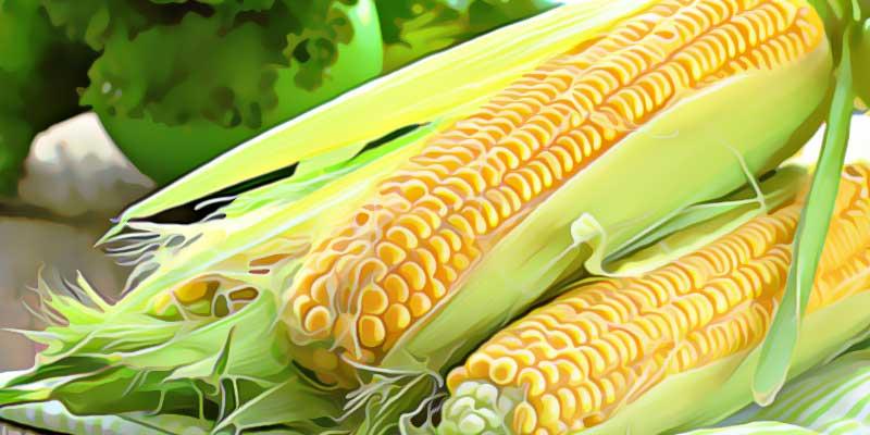 Два початка кукурузы