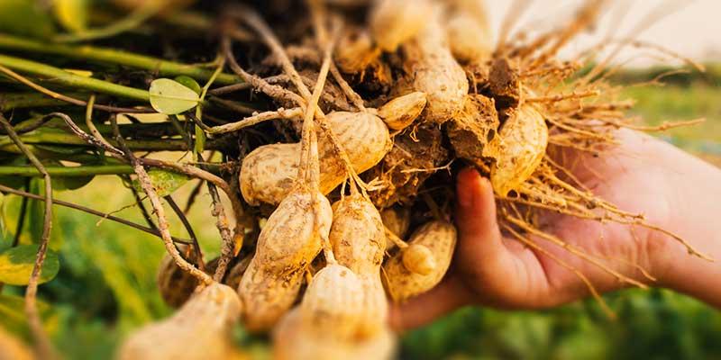 Урожай: куст арахиса